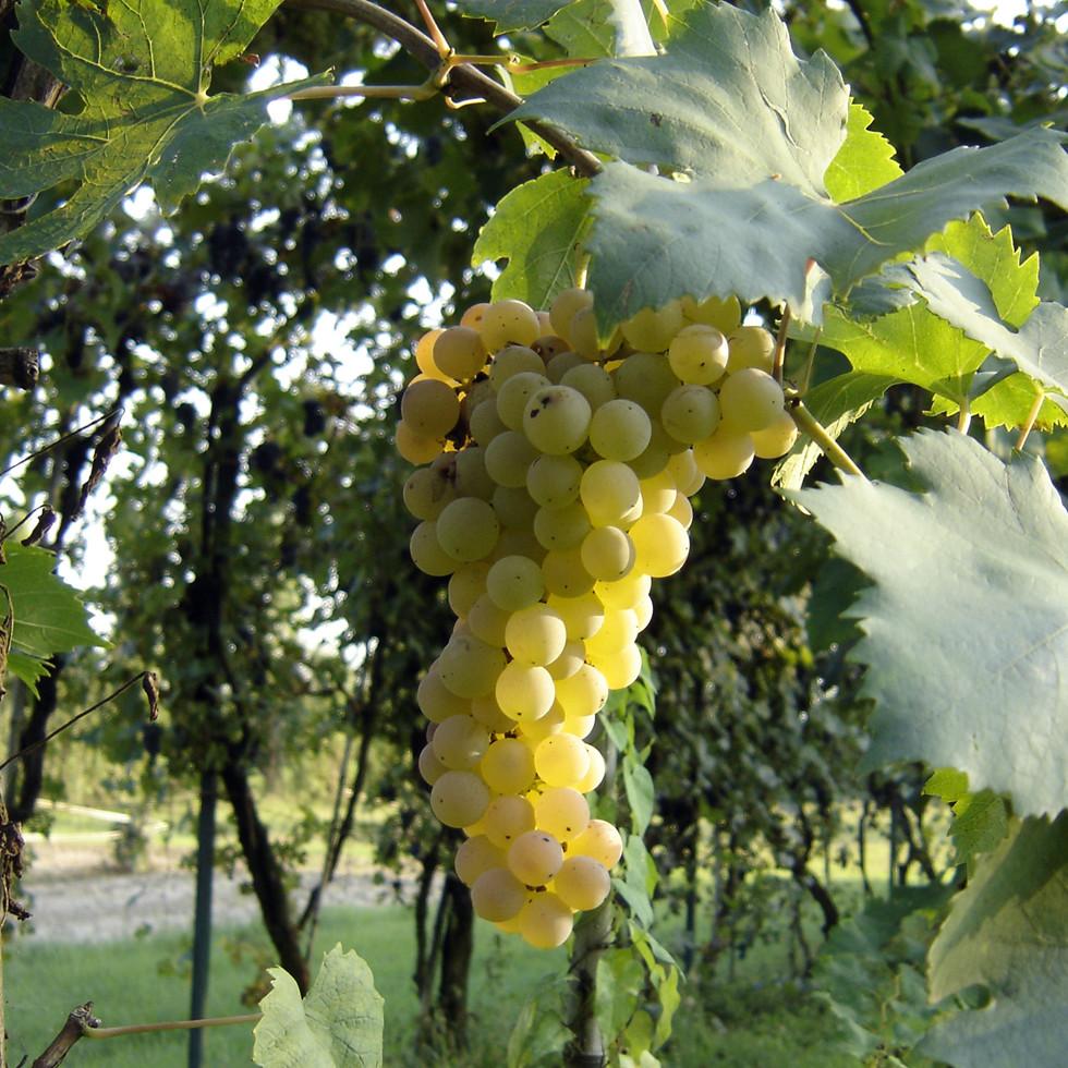 Grappolo di uva Trebbiano